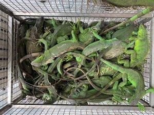 【新聞】綠鬣蜥換老鷹紅豆 2個月捕捉1317隻