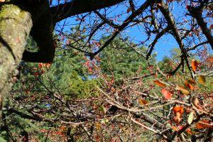 阿里山的楓紅