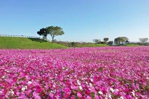 【新聞】賞花拍照打卡好去處 台中后里環保公園花海開了