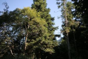 北得拉曼:巨木步道
