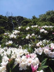 【春夏之際】戀戀玉山杜鵑之合歡北西峰