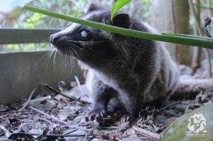【保育】13隻野生動物大使 認養計畫-白鼻心(黃金左腳)
