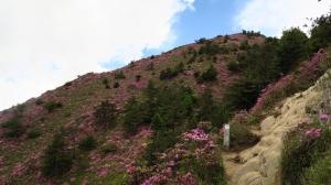 2016.6.8合歡北峰紅毛杜鵑