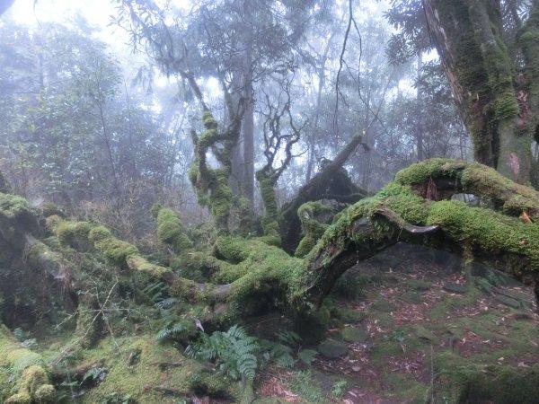 太平山台灣杜鵑與小扁柏