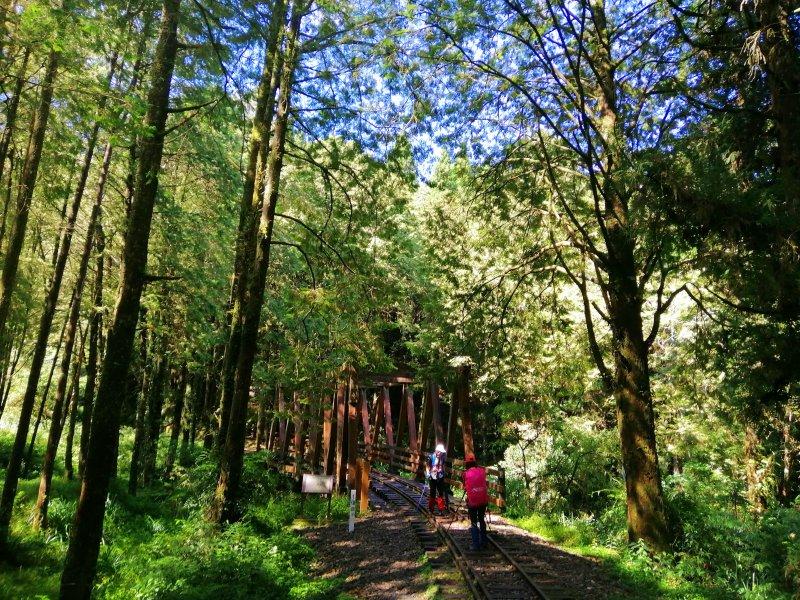 嘉義阿里山鄉~探訪2700年樹齡之水山巨木x祝山林道x櫻之道