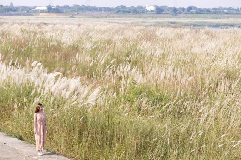 台南甜根子草花盛開。圖/觀光旅遊局提供
